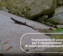 Traslocazione di Salamandrina di Savi un VIDEO sulla Buona Pratica selezionata da LIFE GoProFor